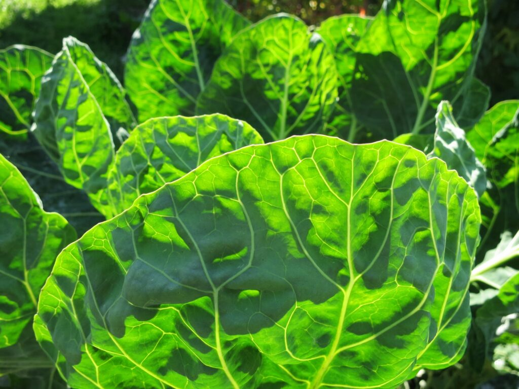 Sunlight through cabbage leaves